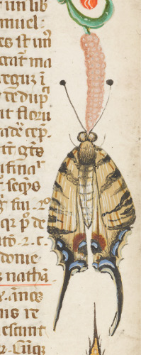 Swallowtail Butterfly, Nicholas of Lyra's Commentary on the Bible